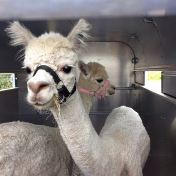Alpacas in transit