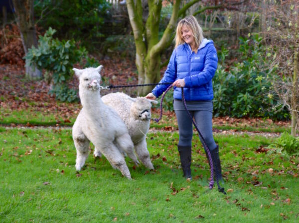 Alpacas learning to walk on a halter