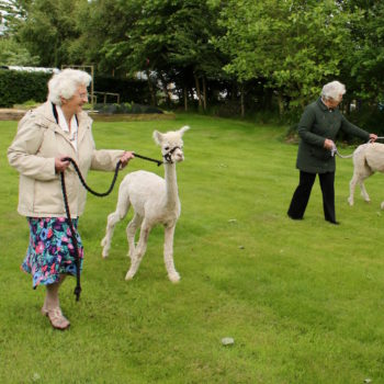 Walking an alpaca