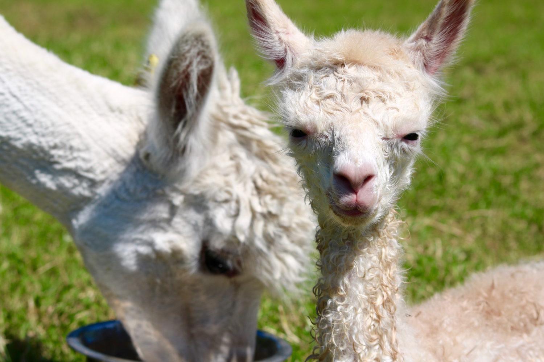 Alpacas Wow & Twinkle